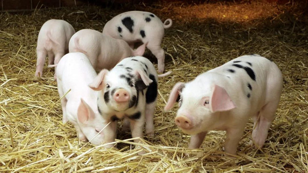 """象山:农民风险保障计划,这些生猪有了""""兜底""""价格,养殖户再也不怕猪价下跌"""