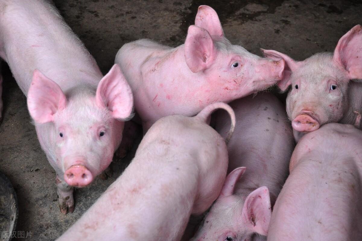 猪价大涨已经熄火,华东,华中,东北等局部地区猪价掉头回落猪价上涨困难?