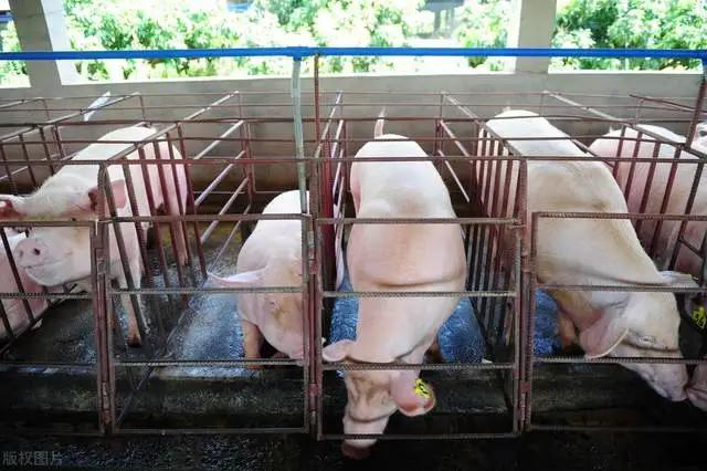 """""""金九银十""""养猪红利期临近,有人卖猪有人抄底,谁发财谁后悔?"""