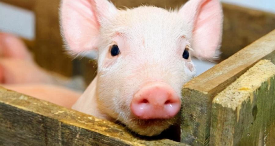 8月18日15公斤仔猪价格:母猪少了!万念俱灰的仔猪即将翻盘?