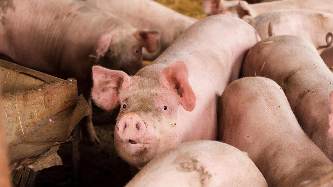 8月猪价却呈现震荡下挫的表现,养殖户忧心忡忡猪价旺季拐点何时到来呢?