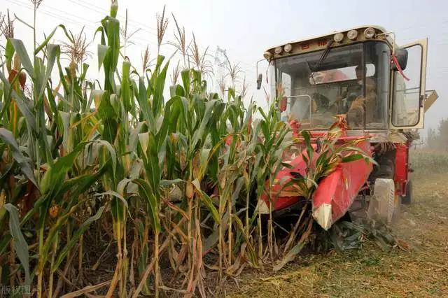 玉米新旧交替,新粮上市,陈粮出货积极性提高,落价模式开启