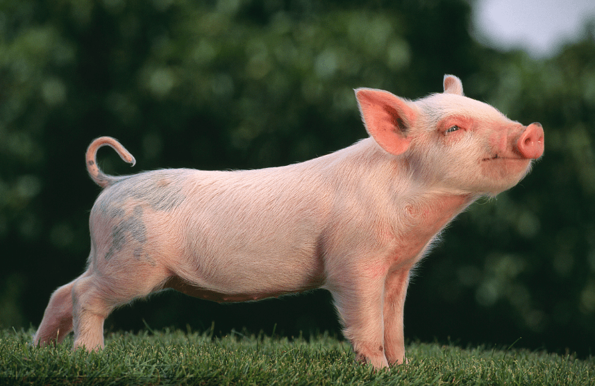 8月19日20公斤仔猪价格:猪价跌跌不休,仔猪200元/头无人接盘?