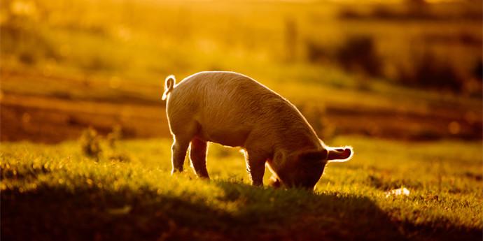 首次生猪期货交割临近,主力合约大跌4%,金新农已赚一个亿?
