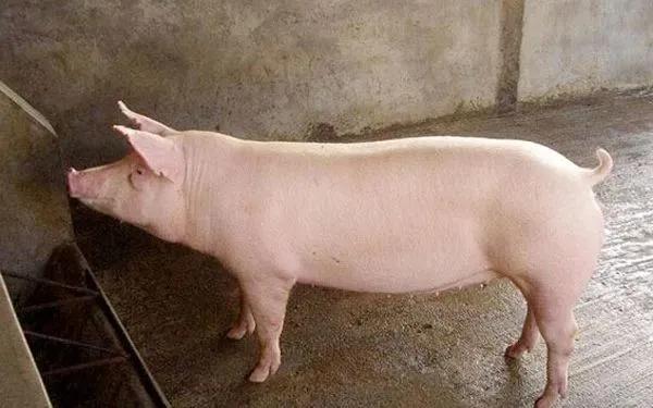 """养殖母猪最头疼的""""几件事""""你遇到过吗?如何科学养母猪?"""