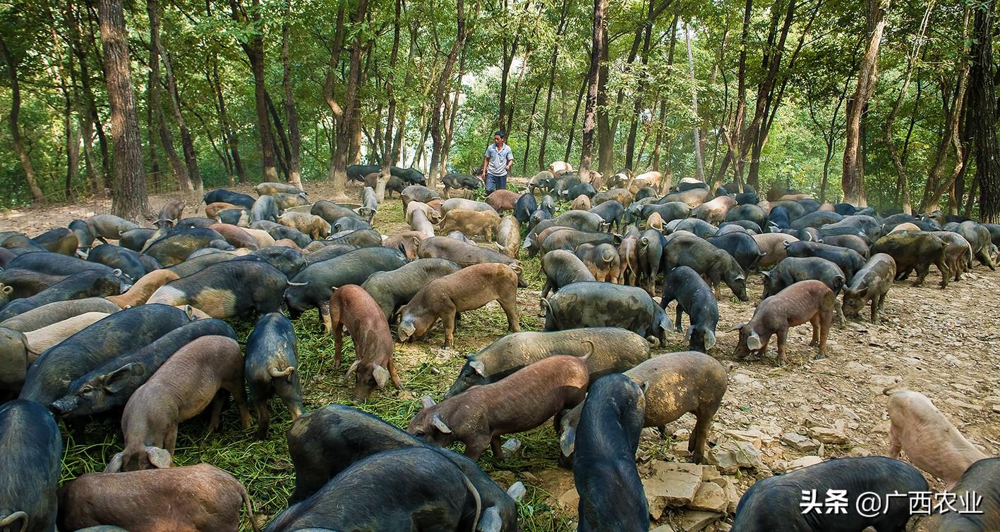 广西农业农村厅领导答记者问:今年生猪价格回落,导致生猪养殖主体效益大幅下滑,就下一步工作