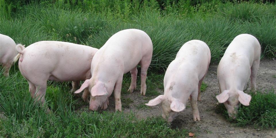 江西:生猪生产恢复到2017年末的104.2%!