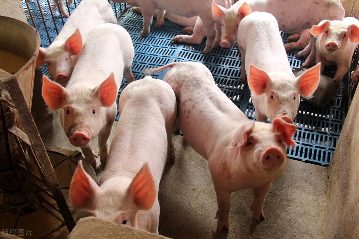 9月份气温下滑农忙到来叠加中秋节的消费旺季,接下来猪价真的能大涨吗?