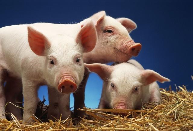 养猪企业亏损未来猪肉价格的趋势如何?有哪些因素影响着猪价的走势呢?