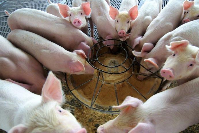小猪不长或长的慢是什么原因?小猪瘦瘦小小是怎么回事?专家注意做好这三点