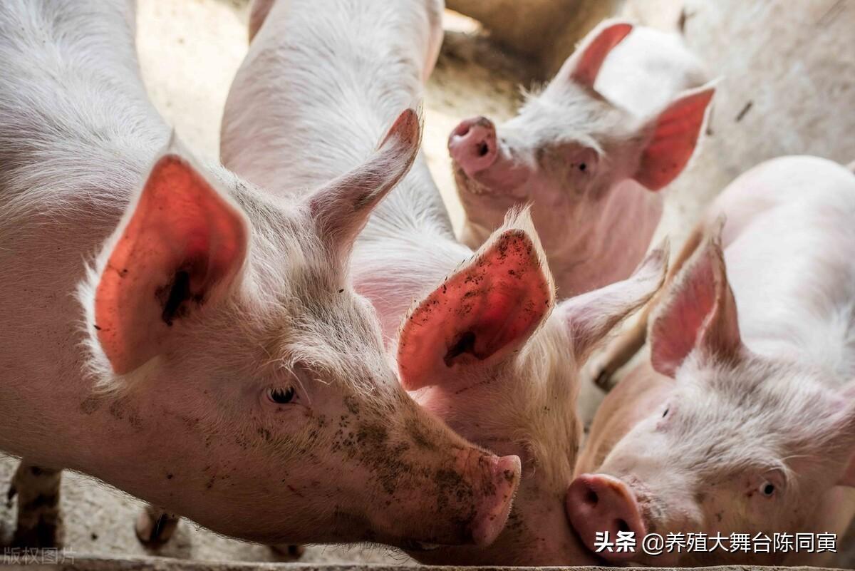 行情低迷饲料涨价,如何提高养殖效率?这才是我们养猪人成功的关键