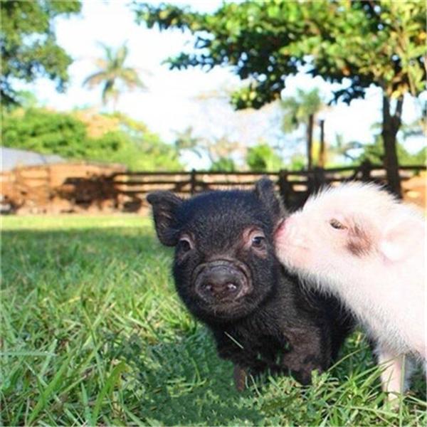 非洲猪瘟疫苗已完成疫苗环境释放试验,即将进入扩大临床试验和生产性试验阶段