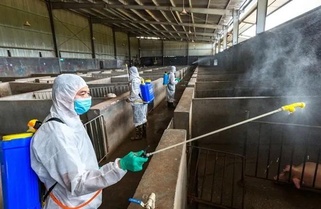 你知道猪场如何进行有效消毒吗?这就告诉你