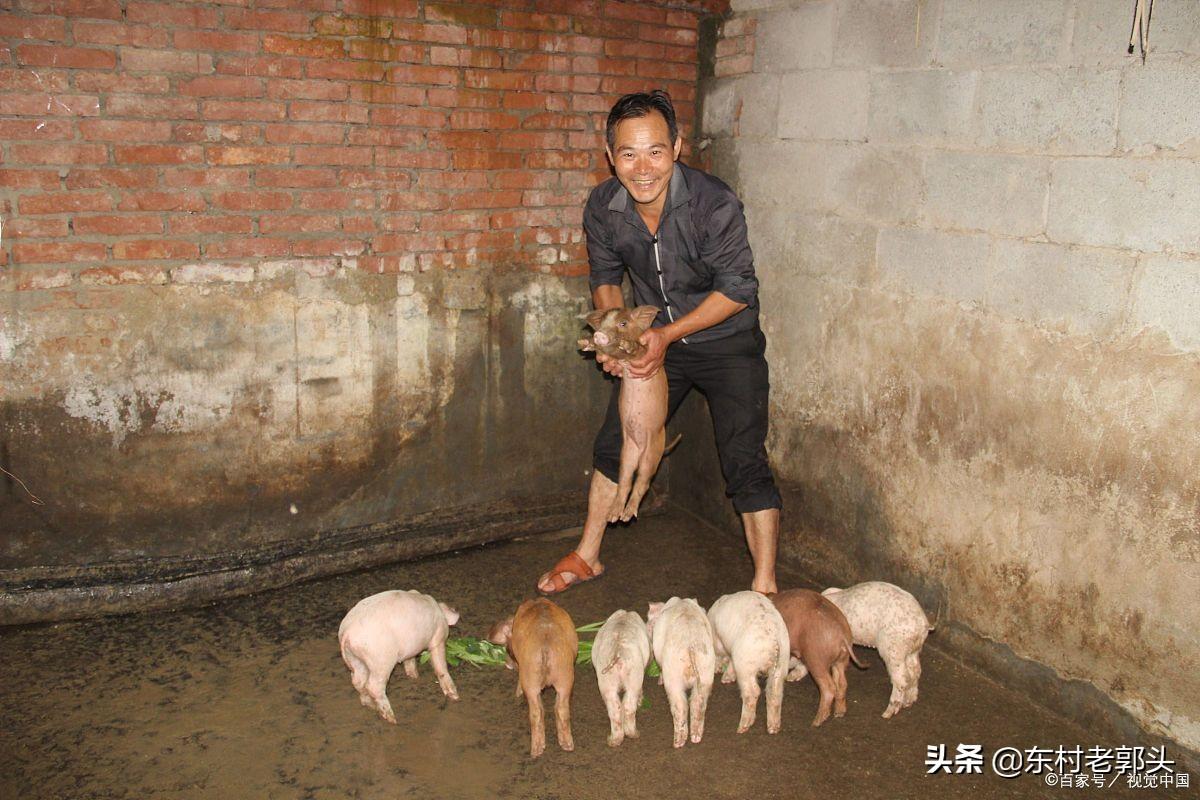 今日猪价又双叒叕开始微降,南方地区出现上涨,猪价无力回天了?