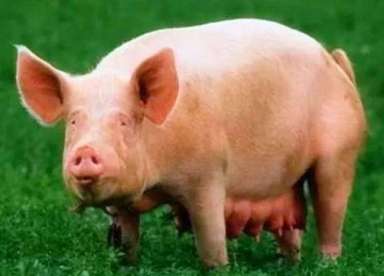 母猪不发情让人头疼?究竟怎样才能让母猪顺利发情?如何让母猪顺利发情?