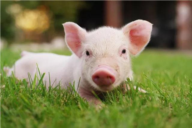 8月23日15公斤仔猪价格:猪价波浪式蠕动,仔猪也将在底部拉锯?