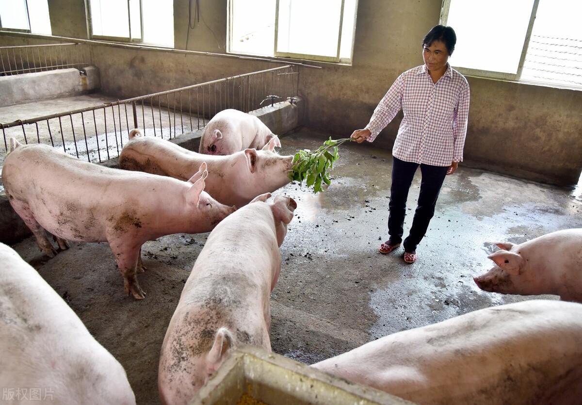 市场反弹产生挽留效应,猪场是否应该进行补栏?赚还是亏?