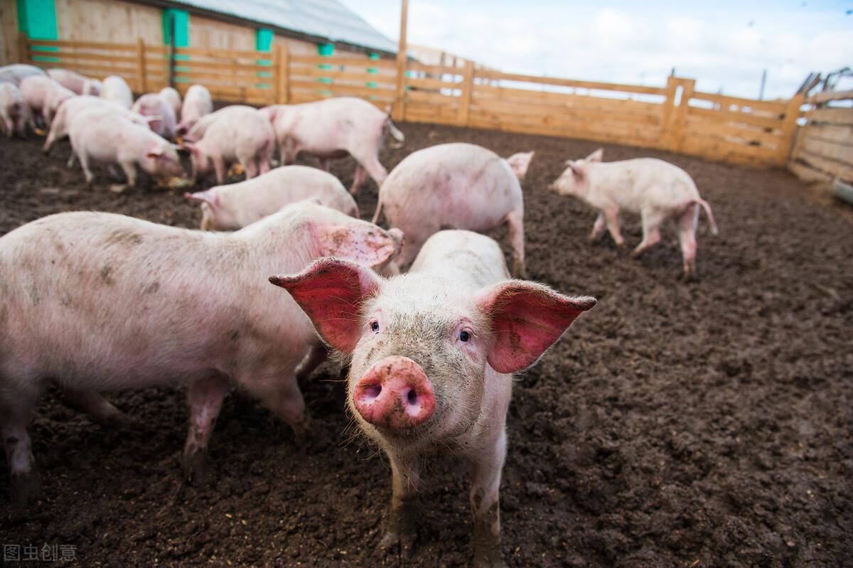 """猪市:如今猪市""""卡脖子""""8元1斤,猪价何时能""""破8入9""""?"""