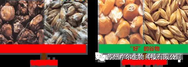 什么是陈化粮玉米?陈化粮玉米还能不能喂猪?喂猪前需要做哪些处理?