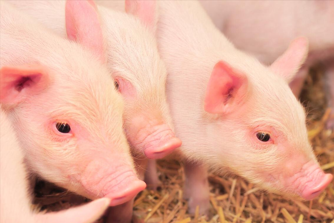 供需压力持续,后半年生猪价格涨跌有限,未来猪价如何?