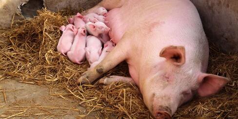 是什么原因造成头胎母猪断奶后不发情呢?如何选留或选购优良的后备母猪?