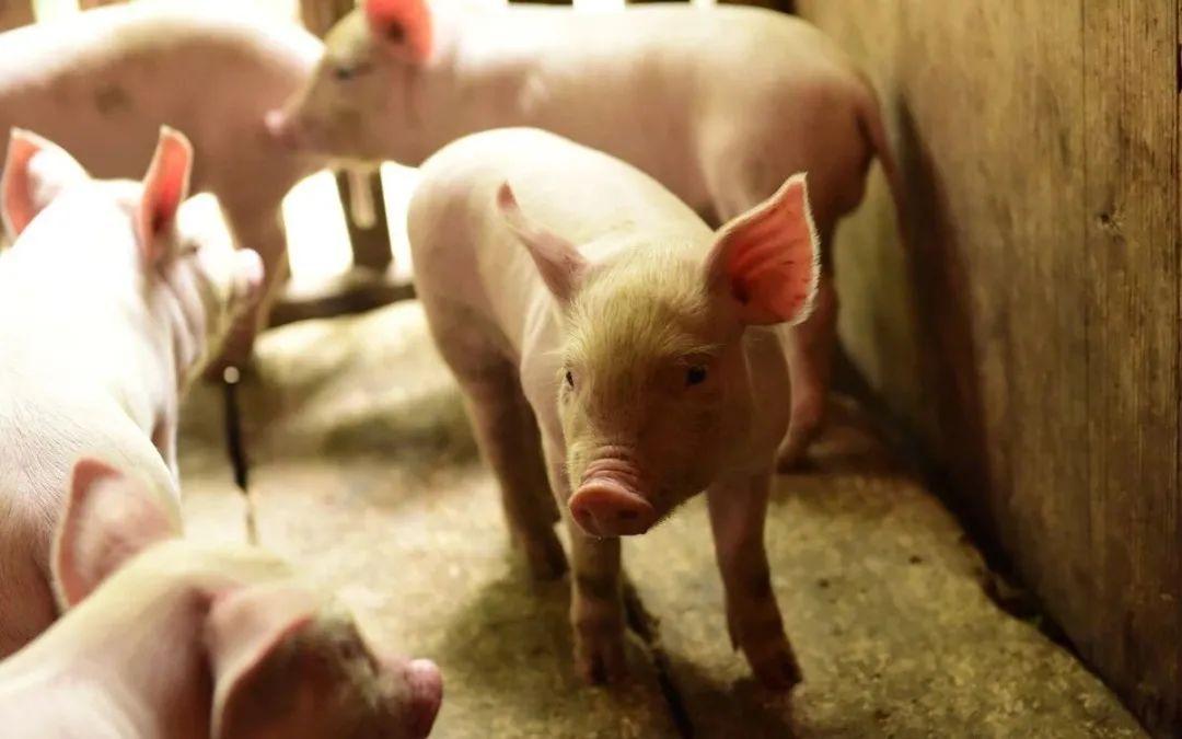 仔猪断奶没多久食欲很差,或者是不吃食,还慢慢变得很瘦,这是怎么回事呢?