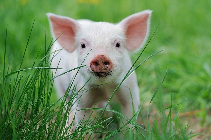 进入秋季昼夜温差变大,做好仔猪和保育猪易出现拉稀腹泻的预防工作