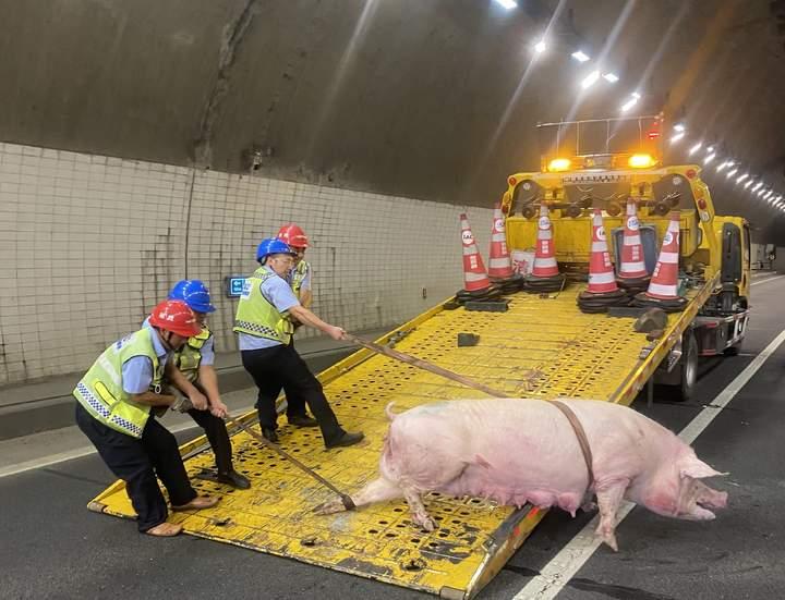 """惊险!""""二师兄""""撞开门栓,高速隧道里上演""""人猪大战""""!"""