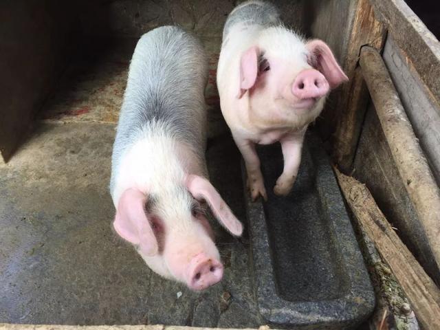 养猪场的公猪都是种猪?错!猪场还有一种公猪只需要负责貌美如花就行了