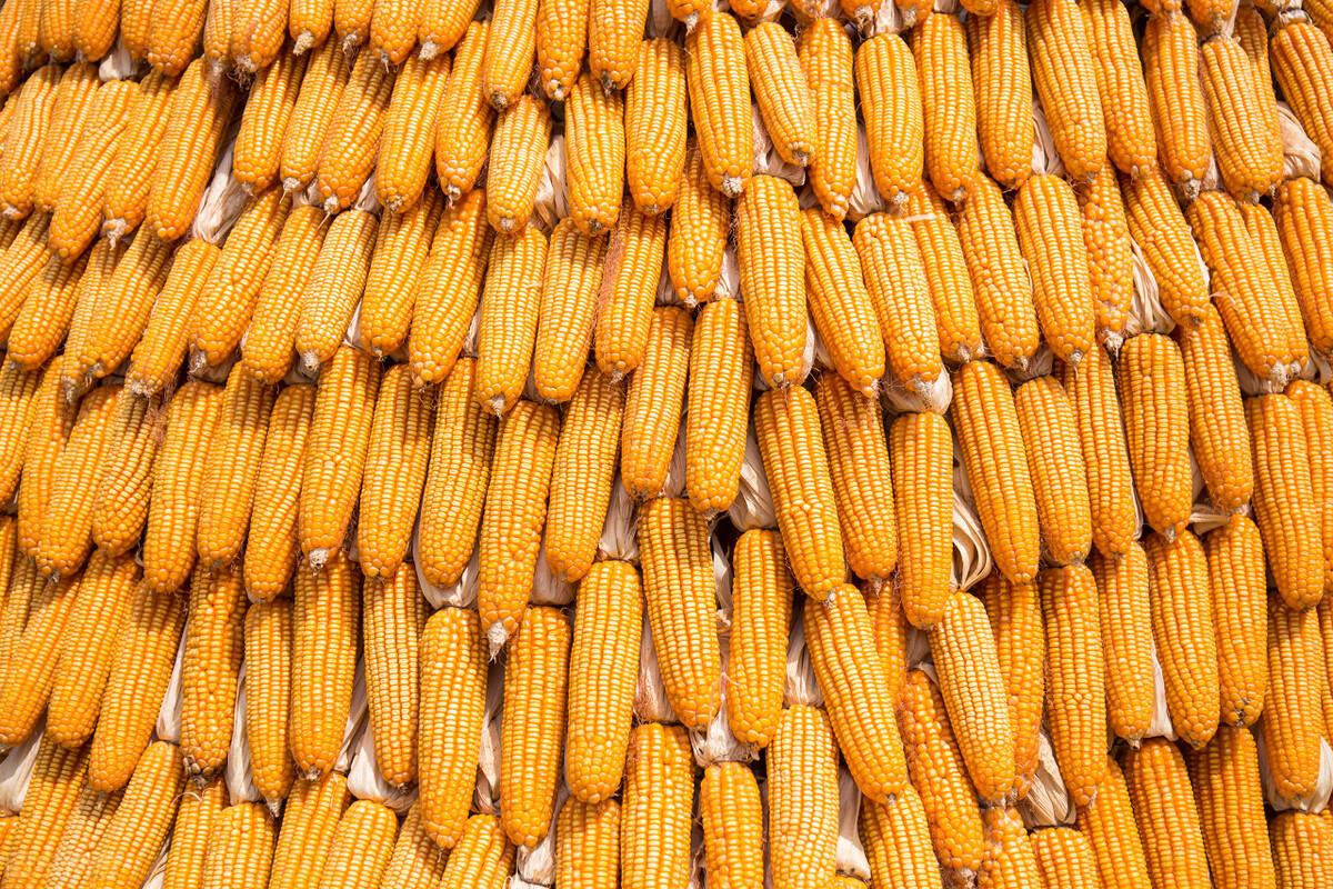 今日国内玉米现货市场继续保持稳中小幅波动态势,港口贸易商报价小幅走跌