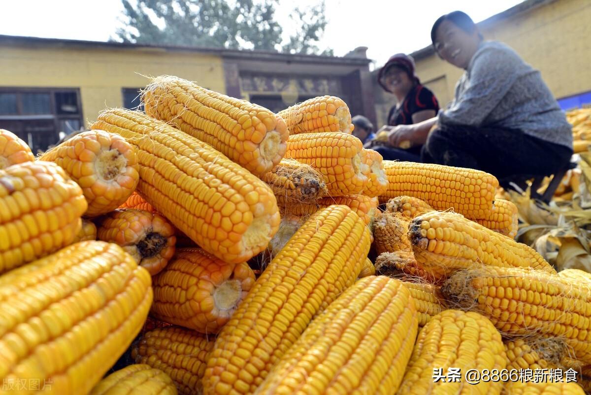 为什么说自下旬开始,玉米价格的转折点就要到了,原因主要有四个