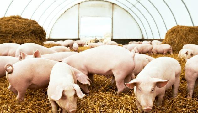 猪场经过生物安全改造、彻底洗消等措施后何时可以复养?