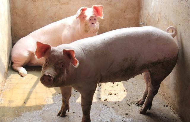 猪价的利好走势将继续,养殖户可根据实际情况,有序安排生猪出栏