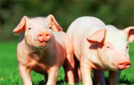 全国猪价震荡上行行情好转,屠企端采购难度较低养殖户出栏积极性较高