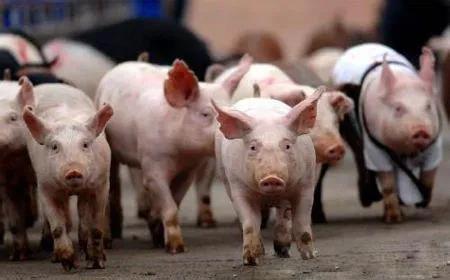 """深陷""""下跌旋涡""""的猪价:一线实探牛猪标猪存栏几何?养殖户补栏情绪如何?"""