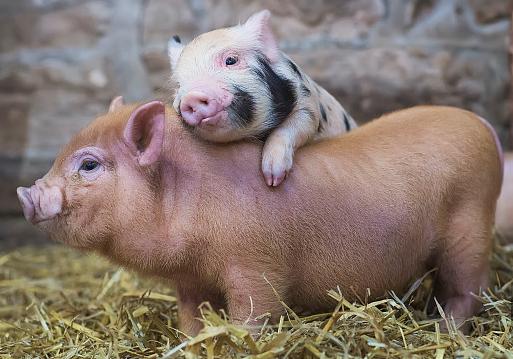 """猪价""""8连跌""""大家""""吃肉自由""""了,养猪人却陷入了亏损中,这是咋回事呢?"""