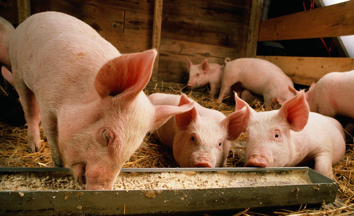 朱增勇:当前既不缺猪,也不缺肉,市场供应有保障