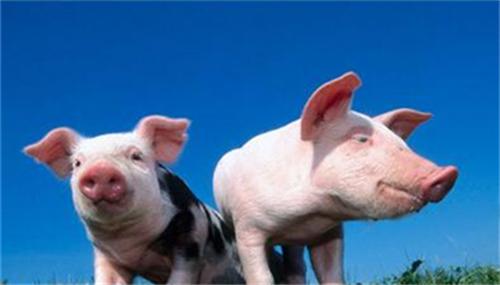 正确获取猪的信号,从猪本身的需求出发,养猪会事半功倍