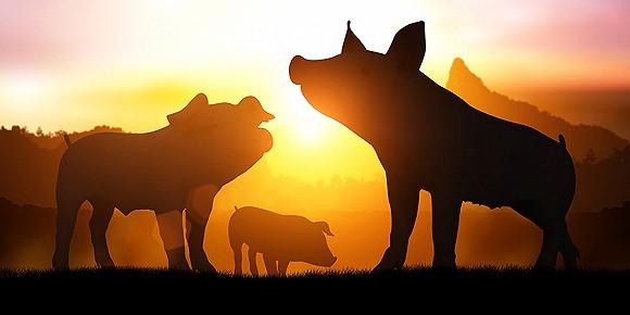"""50岁从矿山管理转行到养猪,养猪让他迎来事业""""第二春"""""""