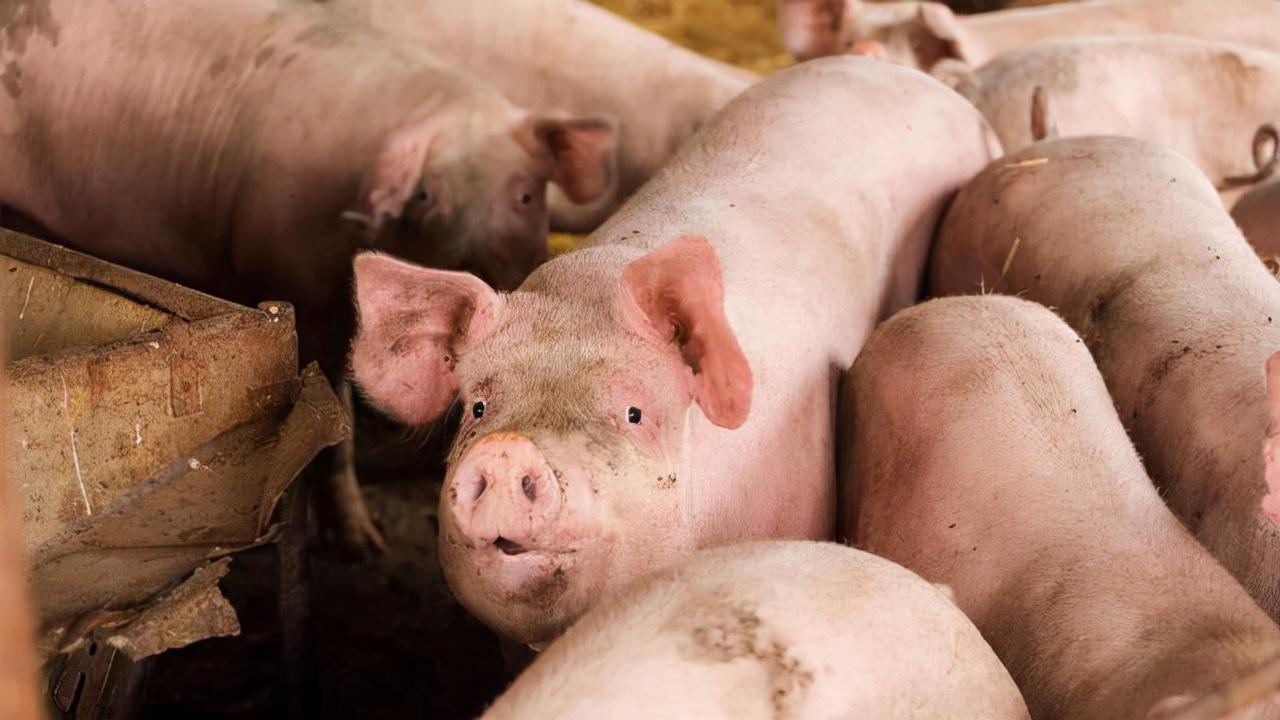 """猪市进入""""金九银十""""月份,市场利好支撑逐渐显现,猪市也将""""变脸""""!"""
