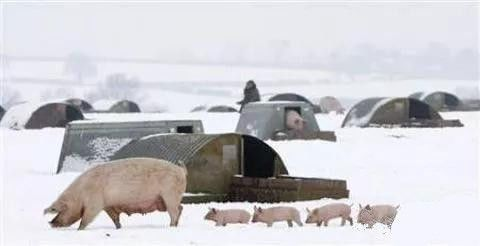 """猪业严寒已至,面对下行猪周期,上市猪企 """"储粮猫冬"""""""
