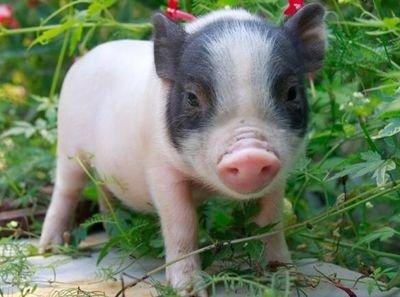 9月1日20公斤仔猪价格:猪价7元难兜底,谁敢补栏仔猪加码猪市?