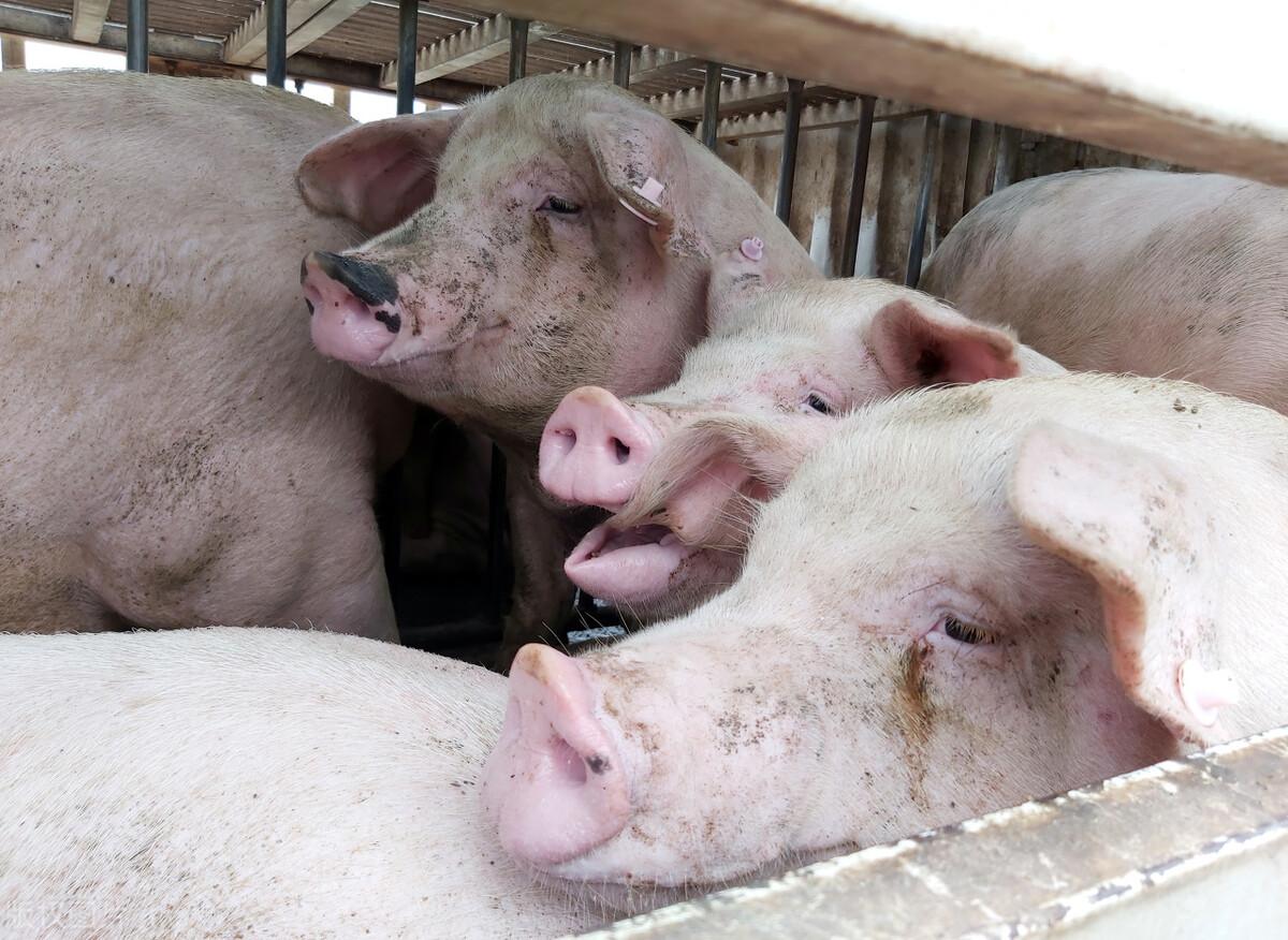 """国家部门再次启动猪肉收储,为了帮助养猪户提振猪价?""""它""""才是收储启动目的"""