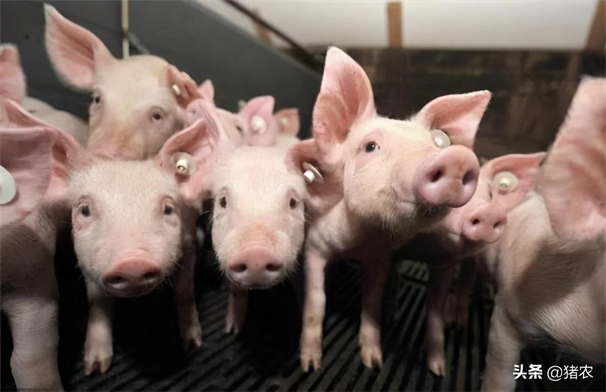 """""""猪价跌、饲料涨""""8月猪价最终以下跌收官。不过接下来会迎来""""金九银十""""?"""
