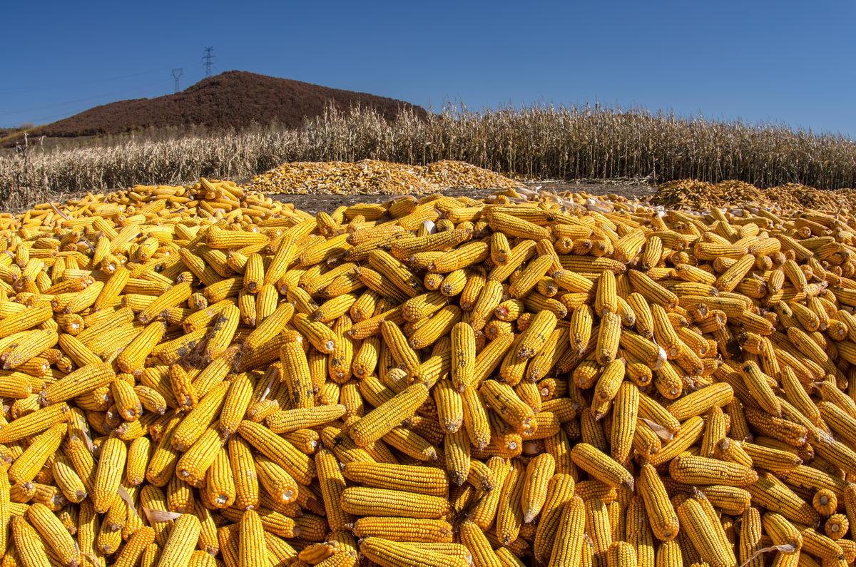 玉米市场价格维持产区偏弱,销区偏强的局面