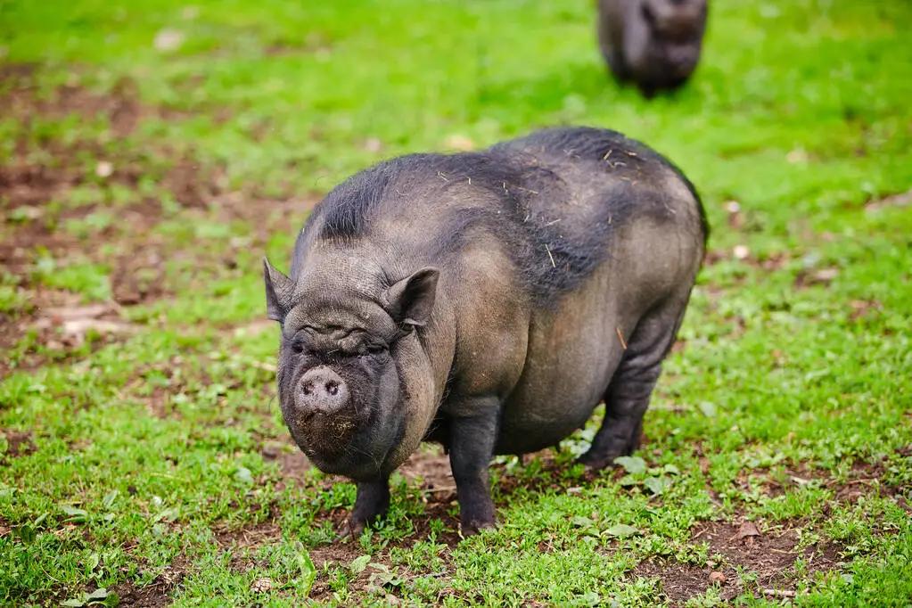 黑猪肉为何更香?科研人员破译黑猪肉特征风味物质!