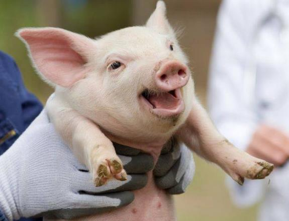 上市猪企利润下滑 多部门将联手稳定猪价 养猪人的涨价梦能实现吗?