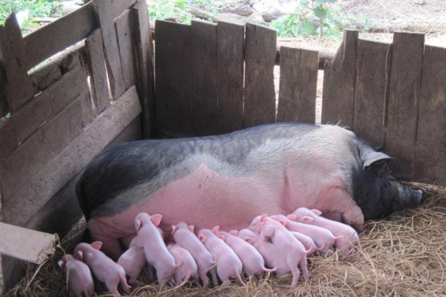 如何让母猪多排卵?加一支缩宫素,可以提高猪精活力,提高猪精的顶破力