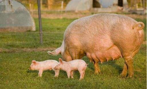 母猪怀孕40天内胚胎极其不稳定,有些事切记不要做!