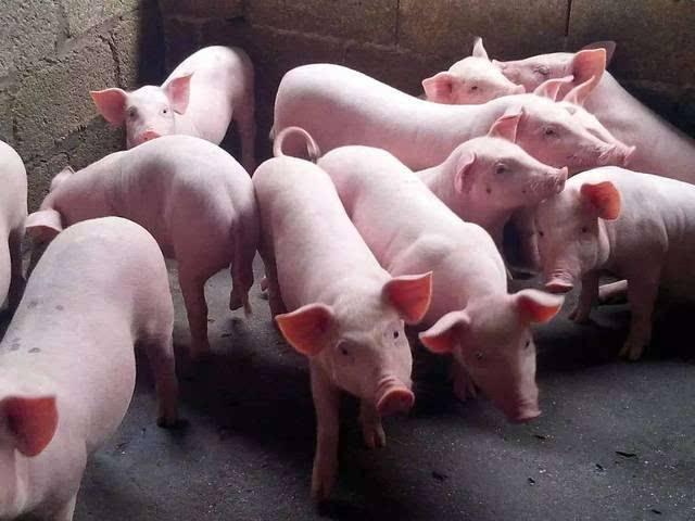 2021年09月07日全国各省市内三元生猪价格,猪价全面进入6元,养殖户:一头猪亏损500以上